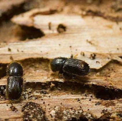 Уничтожить жука-короеда